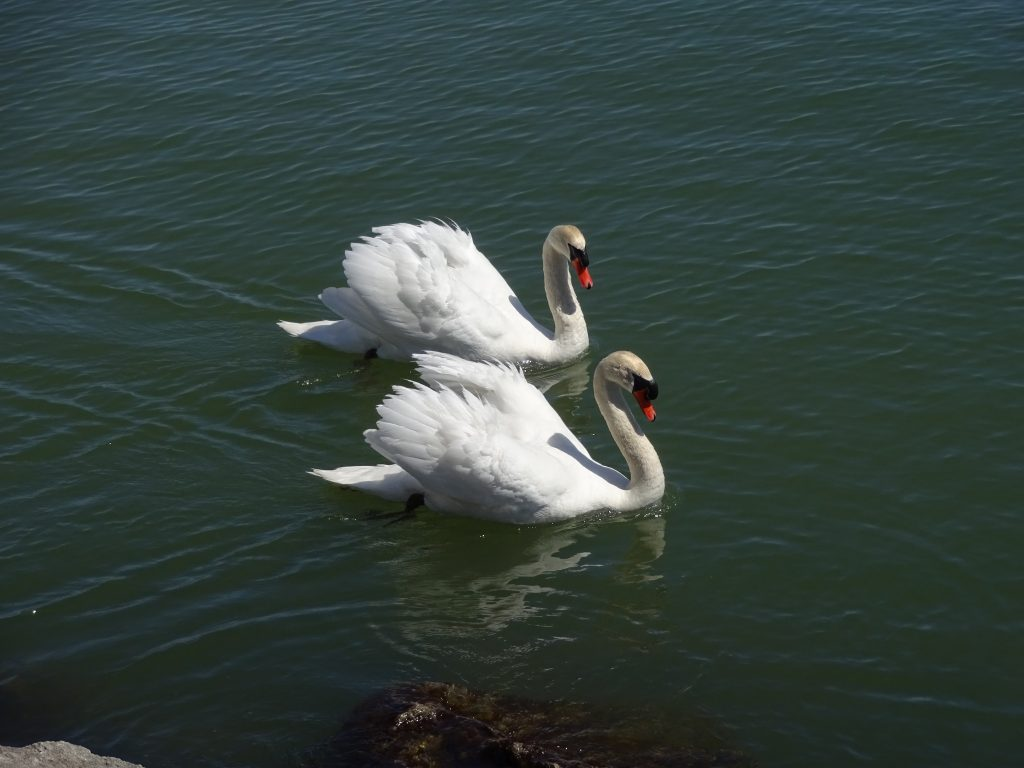 Beautiful Swans